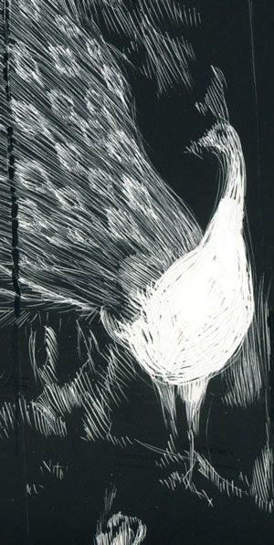 scratchboard drawing of peacock