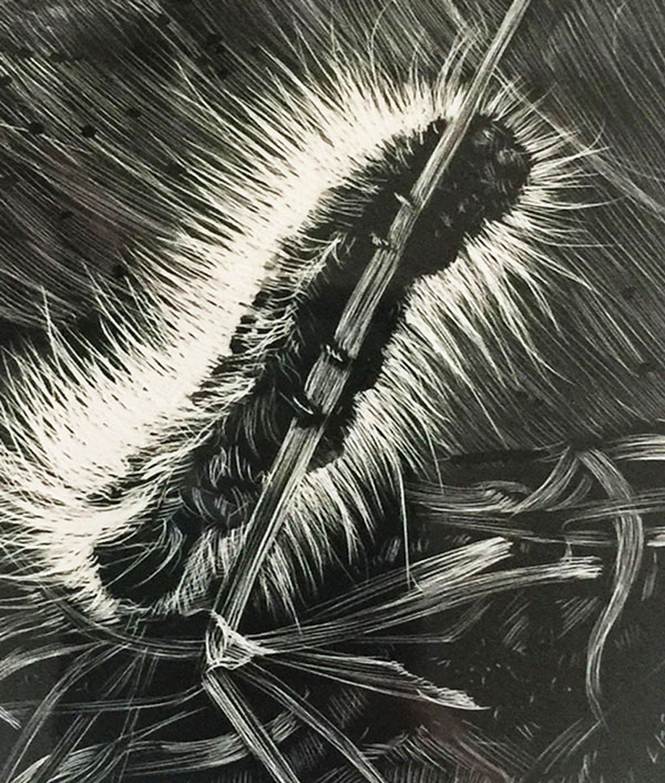drawing of caterpillar rendered in scratchboard