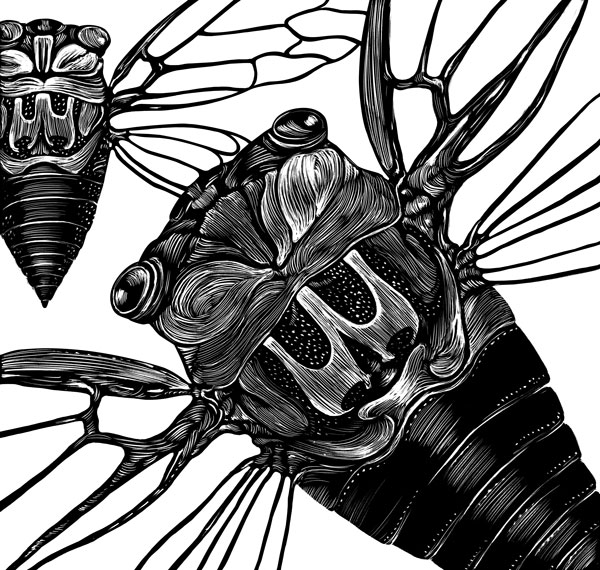 cicada insect flying rendered in scratchboard.